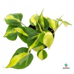Philodendron Scandens Plantadecor