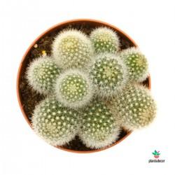 Cactus Mammillaria Plicayensis