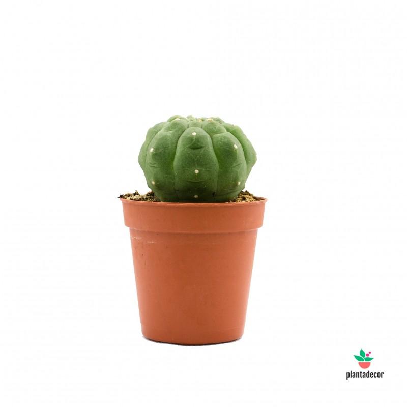 Cactus Matucana