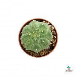 Cactus Matucana Madisorum