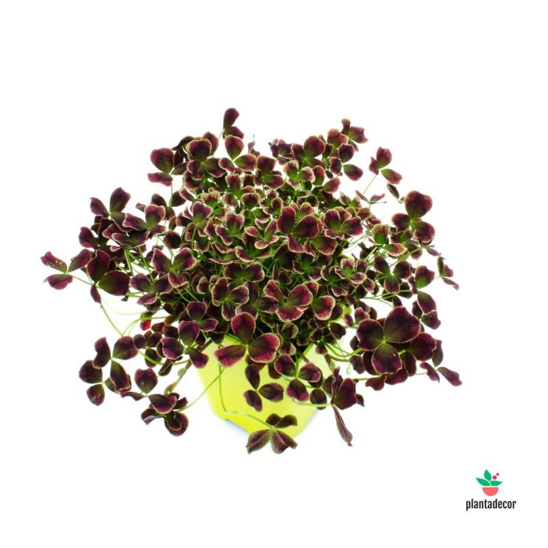 Trifolium Oxalis