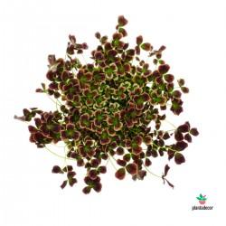Oxalis Trifolium