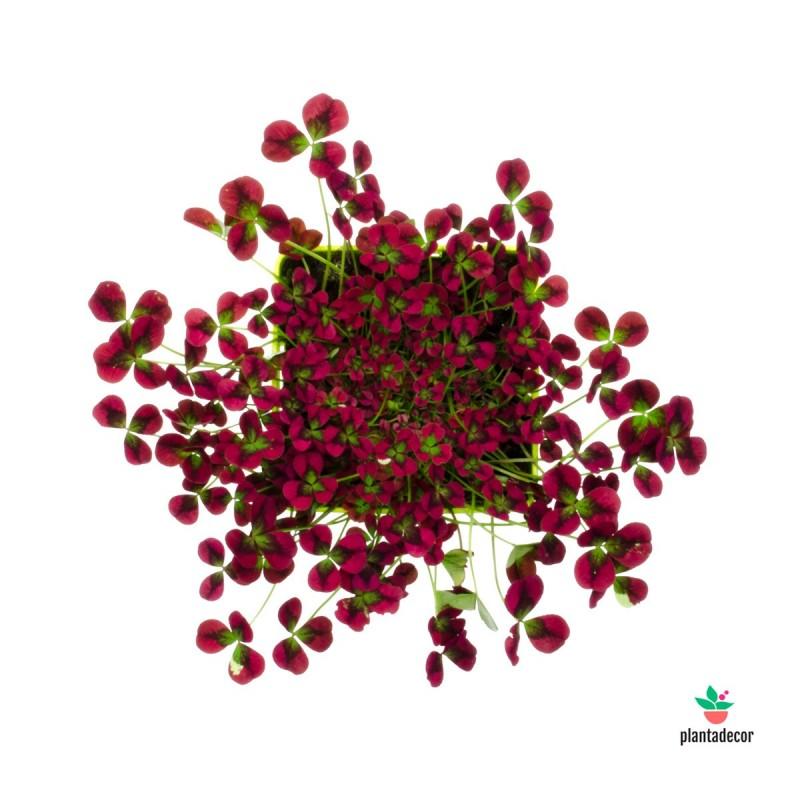 Trifolium Oxalis Plantadecor