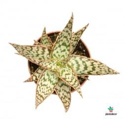 Planta Aloe White