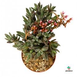 Planta Crassula Justus Corderoyi
