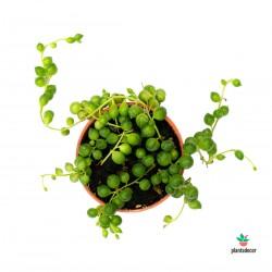 Planta Rosario
