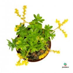 Planta Suculenta Sedum Palmeri