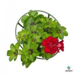 Pelargonium peltatum rojo....