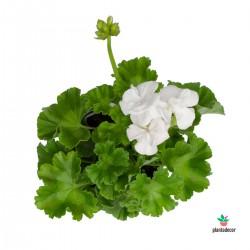 Pelargonium zonale blanco....