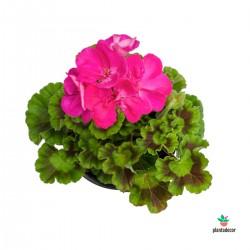 Pelargonium zonale fucsia....
