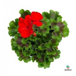 Pelargonium zonale rojo....