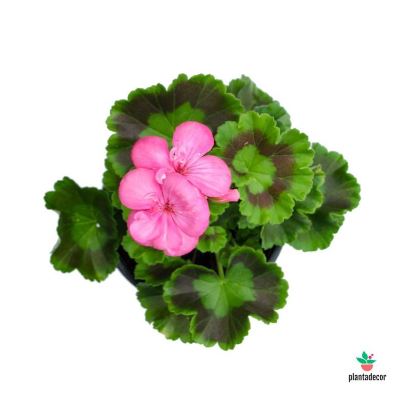 Pelargonium zonale rosa. Pack 12 unidades