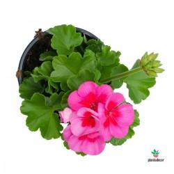 Pelargonium zonale rosa con...