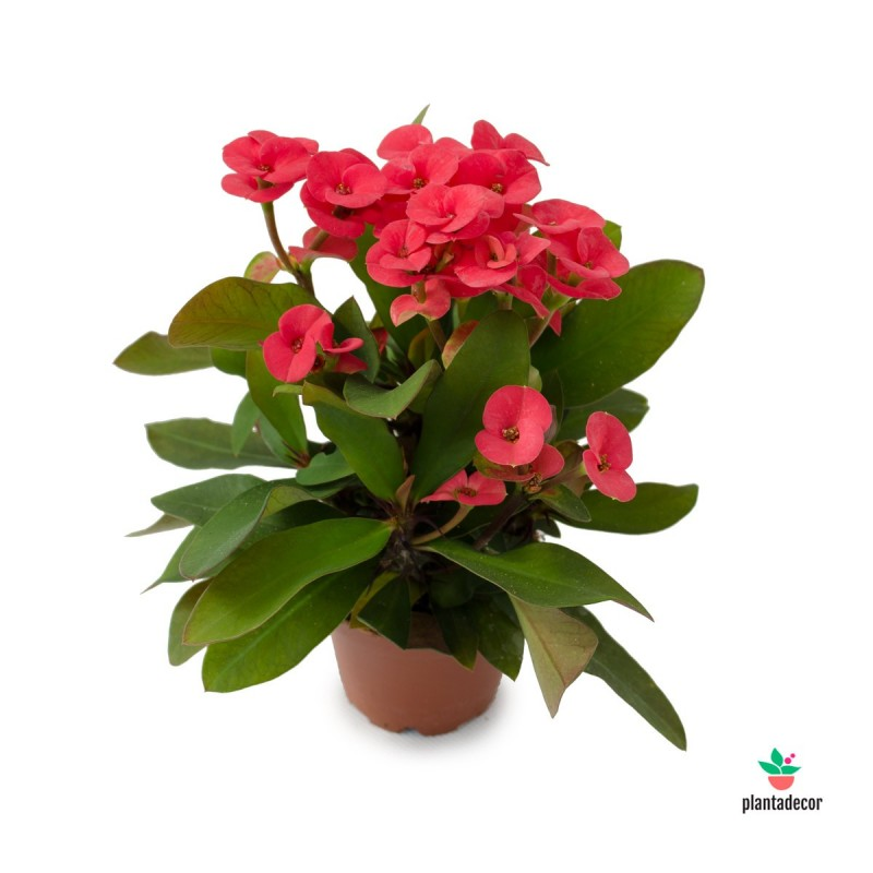 Euphorbia Unique ReD