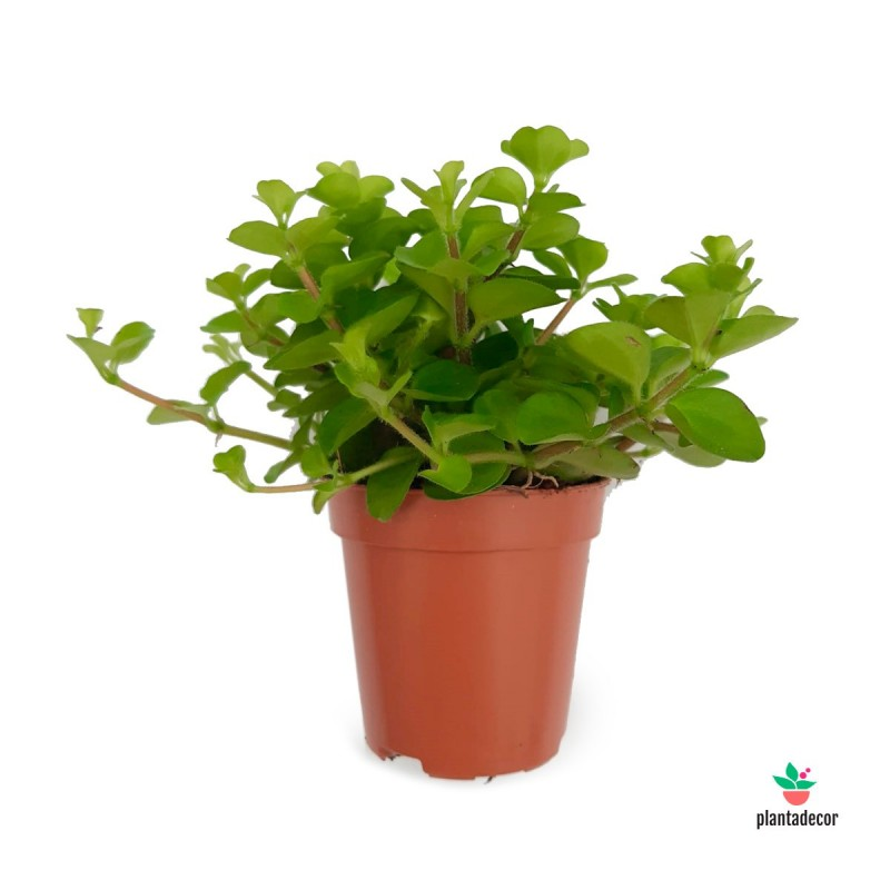Comprar Peperomia Rotundifolia
