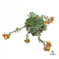 Echeveria Setosa Rondelli flor