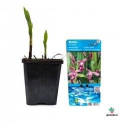 Bletilla Striata Hyacinthina
