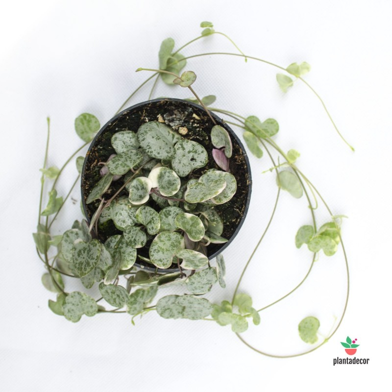 "Ceropegia woodii ssp. woodii ""Marlies Variegated"""
