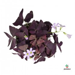 "Oxalis Triangularis ""Dark..."
