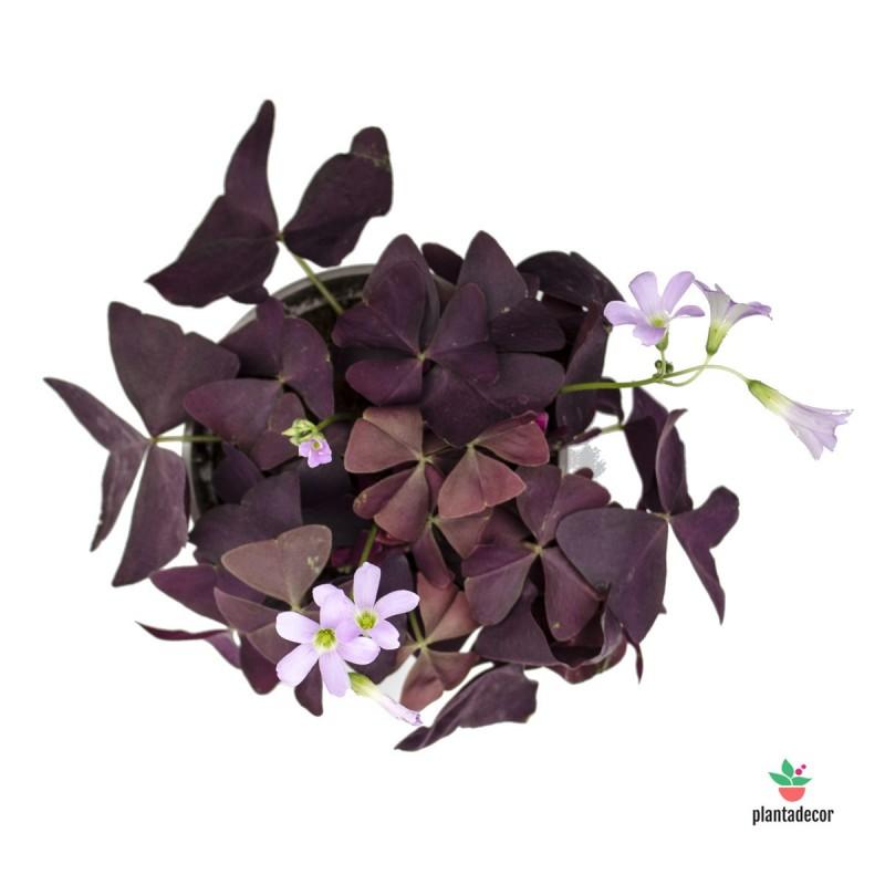 """Oxalis Triangularis """"Dark Leaves"""" M-12"""