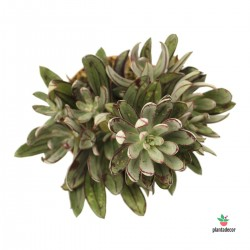 Echeveria nodulosa arrow shaped