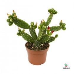 Opuntia Quitensis