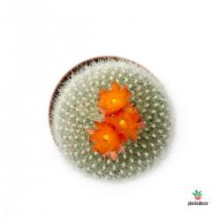 Mammillaria Sensilis