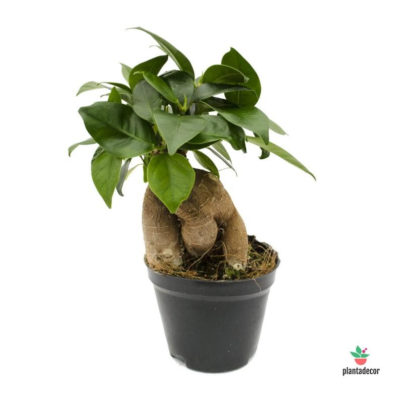 Ficus Gingseng