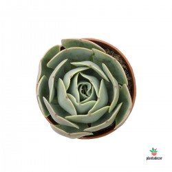 "Echeveria ""Loves Light"""