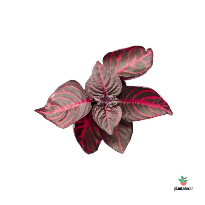 Iresine Herbstii mini Blood Leaf