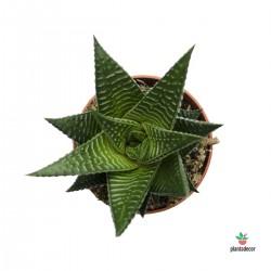 "Haworthia Limifolia ""Green"""