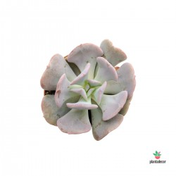 "Echeveria ""Cubic Frost"" Mini"