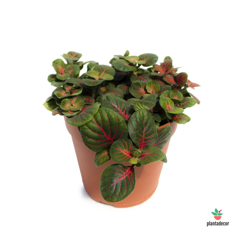 "Fittonia ""Bubble Red"""
