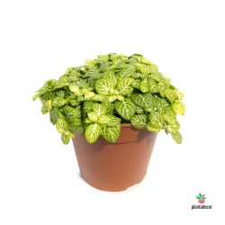 Fittonia Joly Lemon