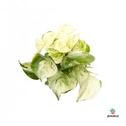 """Epipremnum Pinnatum """"Happy Leaf"""""""