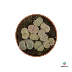 Lithops SPP (Cactus Piedra)