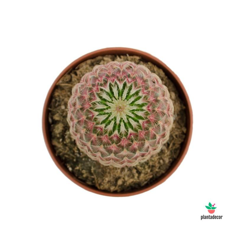Echinocereus Rubispinus