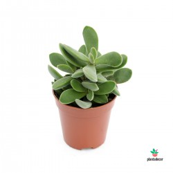 Stretto Crassula