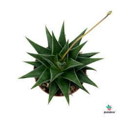 Haworthia Herbacea