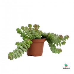 Crassula Hottentot mini