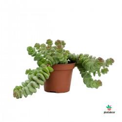 Crassula Hottentot mini