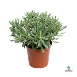 "Euphorbia x Martinii ""Ascot..."