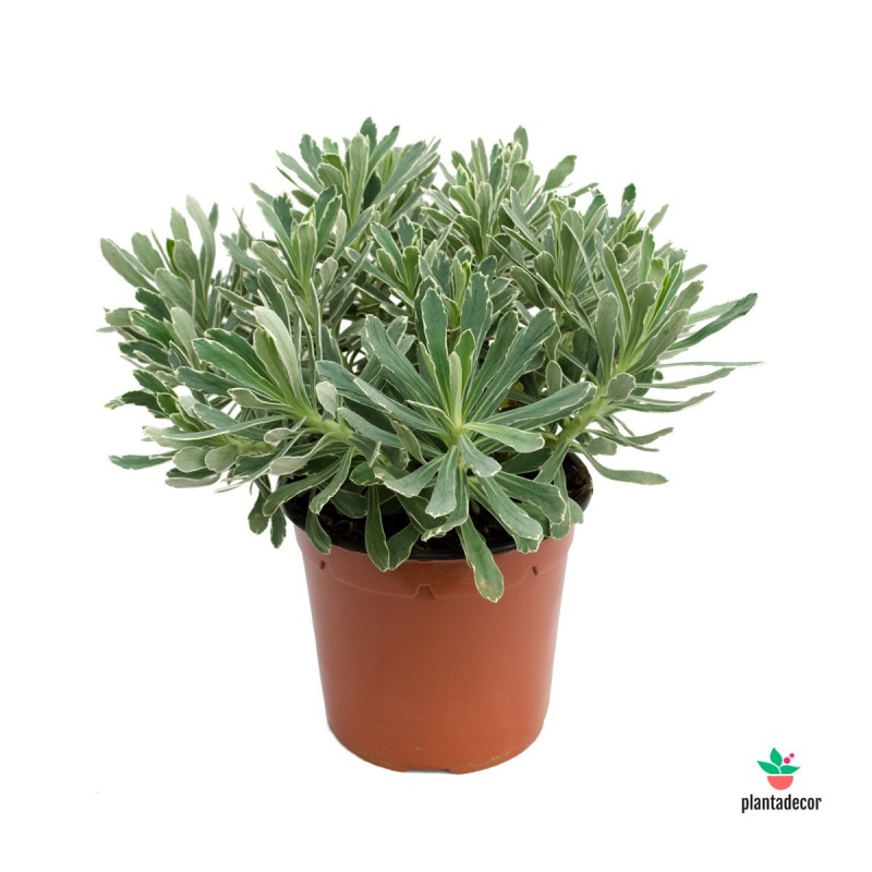 "Euphorbia x Martinii ""Ascot Rainbow"" Verde-Blanca"