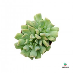 "Echeveria ""Irish Mint"" Mini"