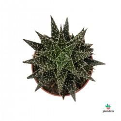 Haworthia Herbácea