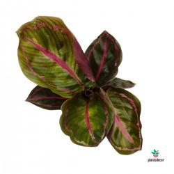 Calathea Roseapicta