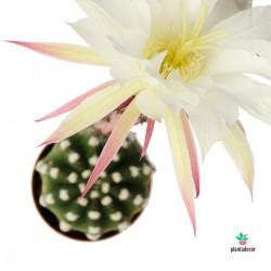 echinopsis subdenuata comprar