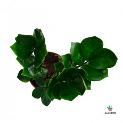 comprar Zamioculcas zamiifolia