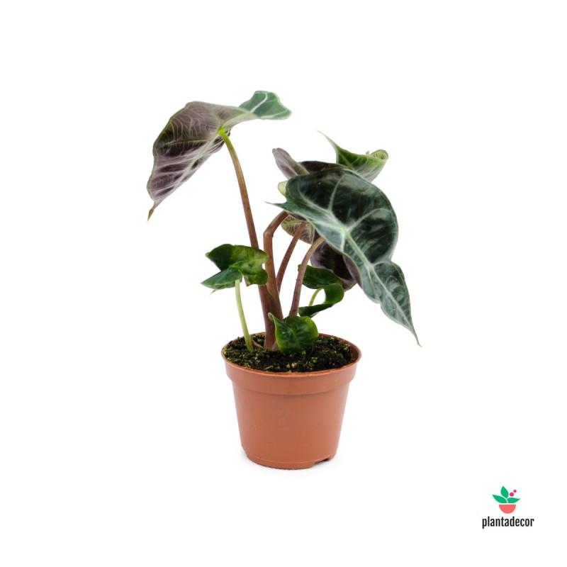 """Alocasia Amazonica Polly """"Mini"""""""