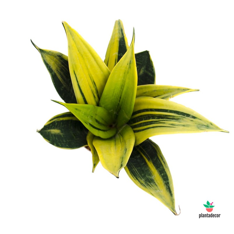 Sansevieria trifa Golden Flame